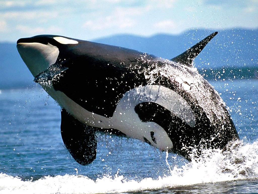 Whale Ocean wallpaper ...