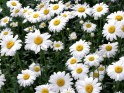 White Camomile flowers desktop.