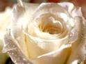 White Rose wallpapers.
