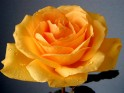 Yellow Rose Flowers wallpaper.